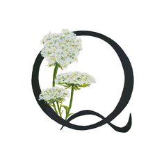 Q est pour la dentelle de la reine Anne, Alphabet Floral 5 x 7 ou tirage 8 x 10