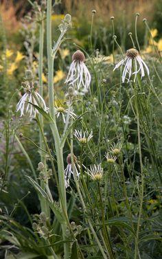 Dan Pearson picks Echinacea pallida 'Hula Dancer' and Eryngium agavifolium Plant Design, Garden Design, Dan Pearson, Front Yard Plants, Herbaceous Border, Hula Dancers, Plantar, Faeries, Perennials
