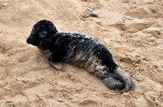 """Bébé phoque retrouvé dans la dune de la plage des Sables-Vigniers . A  près plusieurs jours d'attention particulière au centre des mammifères marins de La Rochelle, un phoque gris de 3 à 4 mois, récupéré, jeudi sur la plage des Sables-Vigniers de Saint-Georges-d'Oléron, prendra la route pour Brest. Là, au centre Océanopolis, il sera choyé. """"Le but est qu'il atteigne un poids en rapport avec son âge et qu'il mange tout seul du poisson cru"""""""