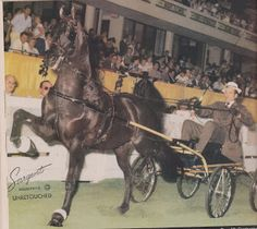 The greatest driver and trainer of harness horses Joe O'Brien was born in ALBERTON, Prince Edward Island Castle Bravo, Tom Moore, Harness Racing, American Saddlebred, Show Horses, World Championship, Beautiful Horses, Champs, Pictures