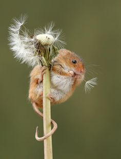 These are the CUTEST little poops ever. They make me smile. Nature Animals, Animals And Pets, Funny Animals, Wild Animals Pictures, Cute Animal Pictures, Harvest Mouse, British Wildlife, Puppies And Kitties, Cute Mouse