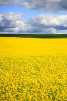 Mustard Field - Woodburn, Oregon