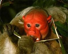 Uakari - could have been in Star Wars!
