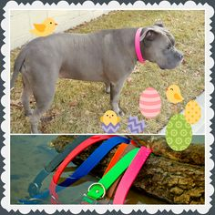 Spring is here and Siya is ready to go swimming in her new waterproof collar!!!  http://www.kippyandco.com/products/waterproof-dog-collar