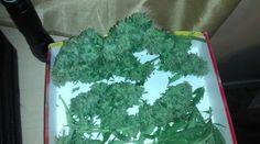 wendyganjababe:  cannabis