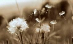 As a child we wish upon the first star we see at night, On a birthday candle, four leaf clover, a falling star, a truck full of hay, and when we blow on a dandelion gone to seed. The beauty of the dandelion is when you make your wish, you can watch thousands of possibilities drift magically through the air, and flying far and near. Miraculously planting themselves in mother earth to bloom. Wishes can come true. You just need to make them heard and feed them and watch them grow.