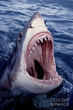 Great White Shark Lunging Out Of The Ocean With Mouth Open Showing Teeth Art Print by Brandon Cole Shark Jaws, Baby Shark, Whale Sharks, Megalodon Shark, The Shark, Shark Photos, Pictures Of Sharks, Great White Shark Pictures, Especie Animal
