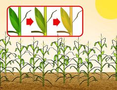 How to Grow Popcorn: Step-by-Step Instructions - wikiHow