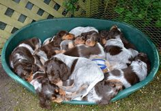 Picardy Spaniel puppies.