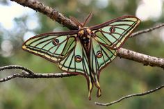 Spanish moon moth, Graellsia isabellae (male) ~ photographer  Daniel Morel #nature #moth