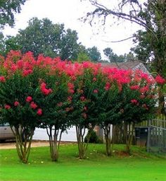 A row of Arapaho Crape Myrtle trees The Arapaho Crape Myrtle is a tall variety reaching around 20 feet with red flowers that are a true red, not just a dark pink. This tree has excellent resistant to powdery mildew. Its taller size makes it a great choice for background planting or for a specimen in your lawn. - See more at: https://www.thetreecenter.com/crape-myrtle-varieties-and-guide/#sthash.G9i2D4mY.dpuf