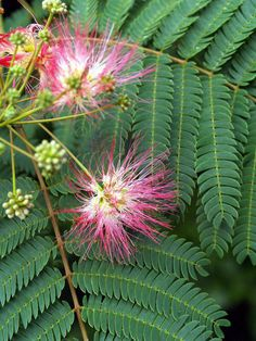 Albizia julibrissin Mimosa/silk tree beautiful yes but this tree is becoming very problematic and invasive Hedge Trees, Trees And Shrubs, Flower Power, Albizia Julibrissin, Silk Tree, Raised Planter, Outdoor Projects, Fresh Flowers, Gardens