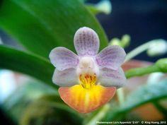 Intra-generic Moth-Orchid-Hybrid: Phalaenopsis 'Liu's Appenlob - Z-01' ( Phalaenopsis appendiculata x Phalaenopsis lobbii); Photo Copyright: King Huang, 2011