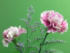 Carnations  Available at Greenleaf Wholesale Florist  www.greenleafwholesale.com