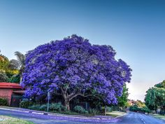 https://flic.kr/p/pVcw6H | Jacaranda Tree HDR, Johannesburg | Jacaranda is a…