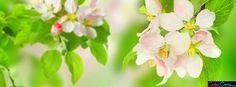 Spring Apple Blossom Facebook Covers - Facebook Covers, Facebook Timeline Covers, Face Book Cover