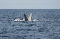 Zeldzame witte orka heeft een gezin gesticht en dat zou wel eens heel slecht…