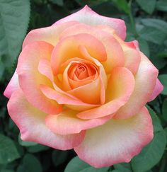 Rose Care from the Seattle Rose Society – Hybrid Tea 'Gold Medal' - Blumen Beautiful Rose Flowers, Flowers Nature, Amazing Flowers, Pink Flowers, Beautiful Flowers, Cactus Flower, My Flower, Orange Rosen, Rose Foto
