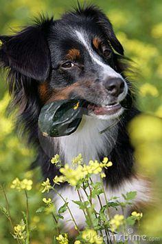 Miniature Australian Shepherd | Portrait of a mini Australian shepherd dog holding a pumpkin in its ...