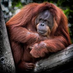 Best wildlife family travel trips: Orangutan are the stars of the famous Sepilok sanctuary in Borneo Los Primates, Just Dance Kids, Cool Science Experiments, San Diego Zoo, Palm Oil, Mammals, In This World, Africa, Instagram