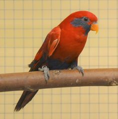 blue eared lory, eos semilarvata  photo from Iggino Van Bael