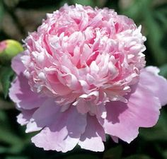 Jules Elie' A very popular rose pink double for decades in North America. This early French heirloom hybrid is prized for its plant vigor and bloom performance. A commercial favorite for cutting. Its large flowers need support.
