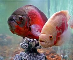 Oscars, Tropical fish with personality. Had them years ago, they were pretty… Tropical Fish Aquarium, Freshwater Aquarium Fish, Underwater Creatures, Underwater Life, Reptiles, Oscar Fish, Cichlid Fish, Beautiful Sea Creatures, Cool Fish