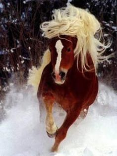 beautiful photos and facts of Haflinger pony All The Pretty Horses, Beautiful Horses, Animals Beautiful, Cute Animals, Majestic Horse, Clydesdale, Tier Fotos, Mundo Animal, All Gods Creatures