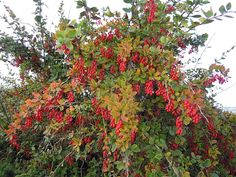Berberis vulgaris L., also known as common barberry,[3] European barberry or simply barberry