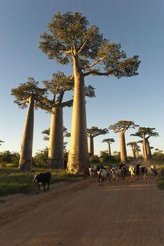 Cows @way of baobab / Mada