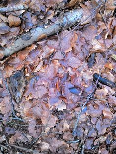 Old beech leaves