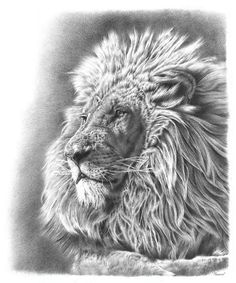 Lion Pencil Drawing