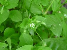 how to get rid of chickweed in lawn