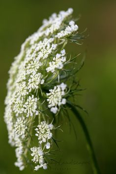 Queen Anne's Lace Wisconsin Wildflowers