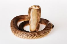 Africa's Most Dangerous Snakes: Cape Cobra, a dangerous snake because it tends to be nervous and aggressive; mortality rate in humans is 60%.  4 ft. in length, hunts rodents and can climb trees to raid weaver bird colonies.