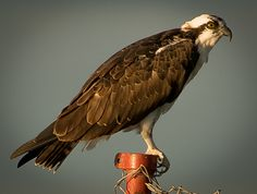 Foto águia-pescadora (Pandion haliaetus) por Alexandre Ravaglia   Wiki Aves - A Enciclopédia das Aves do Brasil