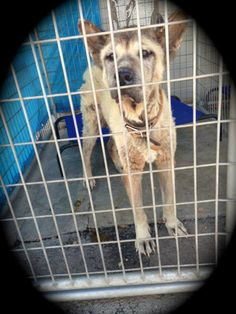 Lancaster, CA - A4628246, this is Maxine, she is a 16 y/o neglected Shepherd who was DUMPED by her owners 9/4. I saw a woman drag her in, the dog could barely walk, she was dragging her by the collar, no leash, raggedy beat up collar, this dog was FILTHY.  This old girl was SO confused, heartbreaking!!!! Please call the shelter at 661.940.4191 RIGHT AWAY.  https://www.facebook.com/photo.php?fbid=10151899427522318=a.10151887669297318.1073741864.733107317=1=nf