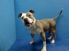 SUPER URGENT - 05/25/13 Brooklyn Center - JEFF A0965529 Male brown/white pit bull mix 6 YRS old Jeff had a home where he appears to have been well cared for. His wt is good, his tail wags & at some point someone cared enough to have him microchipped et no one came for him  Please share/adopt/foster Jeff tonight tomorrow will be too www.facebook.com/...