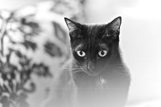 PF in one of his spaced out look... #blackcats #cats #catphotography…