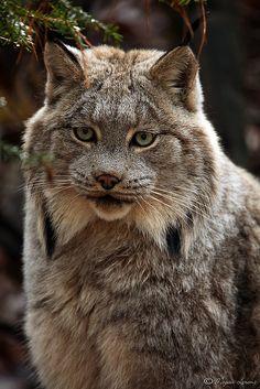 Majestic Lynx  silent, powerful, intelligent
