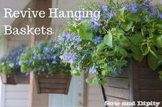 revive hanging baskets, gardening