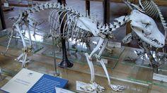 Thylacine skeleton at Muséum national d'histoire naturelle, Paris