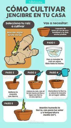 Jengibre Ginger Plant, Grow Ginger, Lily Garden, Herb Garden, Garden Plants, Vegetable Garden, Gardening Shoes, Gardening Tips, Organic Gardening