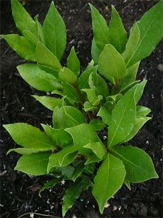 Sweet Bay Tree Care – Tips For Growing A Bay Tree Sweet Bay Leaf Tree: How To Grow A Bay Leaf Tree *Bring inside in the winter Bay Leaf Plant, Bay Leaf Tree, Bay Leaves, Bay Trees, Fruit Garden, Edible Garden, Garden Plants, Herb Garden, Bay Tree Care