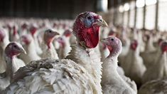 US poultry exports plunge with avian flu scare