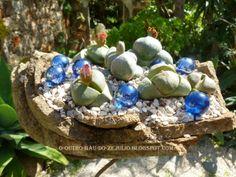 Pleiospilos nelii, plantados em basalto da serra Sintra