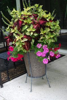Coleus, lime iresine, and trailing petunias - pretty combination for partial shade