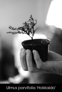 Ulmus parvifolia 'Hokkaido' • florist donaflor Tableware, Hokkaido, Dinnerware, Tablewares, Dishes, Place Settings