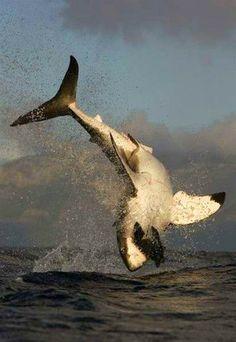 """Great White Shark ~ Miks' Pics """"Sea Life l"""" board @ http://www.pinterest.com/msmgish/sea-life-l/"""