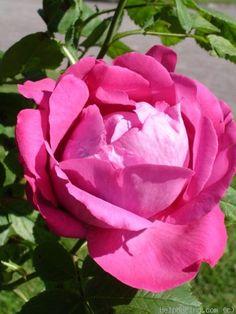 'Baron J.B. Gonella' *Rose Photo